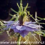 Černucha – květina, koření i léčivka