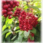 Klanopraška čínská – pěstování a léčebné účinky