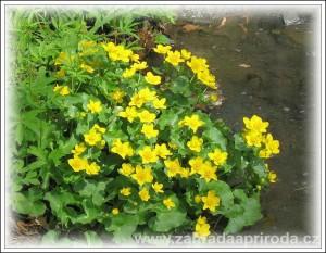 Žlutě kvetoucí rostliny