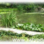 Plovoucí rostliny do zahradního jezírka