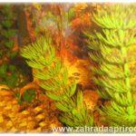 Hlubokovodní a okysličující rostliny do zahradního jezírka
