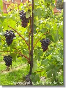 Vinná réva – pěstování na zahradě