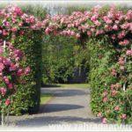 Popínavé a pnoucí růže