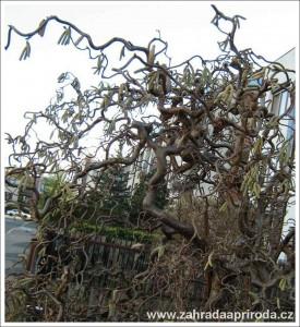 Zkroucené větve lísky odrůdy contorta proměňují tvář keře i