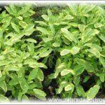 Šalvěj – pěstování a léčivé účinky