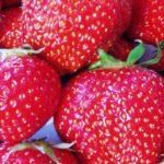 Zahradní jahody – pěstování a výsadba