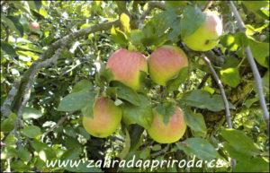 stará jabloň