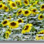 Slunečnice – druhy a pěstování