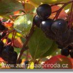 Chutná a léčivá Arónie – černá jeřabina