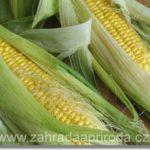 Prospěšná kukuřice a co léčí její vlasy