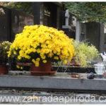 Chryzantémy – květiny vhodné na hrob