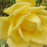 Péče o růže před zimou