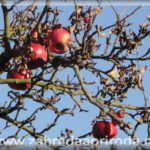 Péče o ovocné stromy a keře v zimě