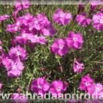 Jak si předpěstovat sazenice květin
