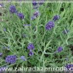 Levandule – pěstování a využití