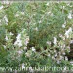 Saturejka – pěstování a využití v kuchyni i k léčbě