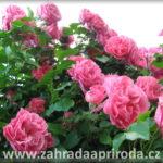 Růže – druhy a tvary