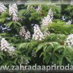 Co léčí květy kaštanu, jírovce