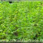 Meduňka lékařská – pěstování a využití