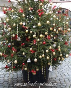 živý vánoční stromek