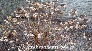 suché a nově rašící výhony