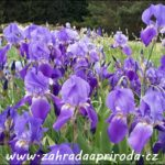 Kosatec, Iris – druhy a pěstování