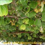 Jak pěstovat kiwi neboli aktinidii