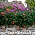 Popínavé rostliny – jakou si vybrat
