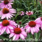 Třapatka nachová – pěstování a léčivé účinky
