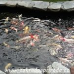 Ryby do zahradního jezírka