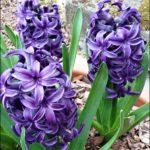 Zahradní hyacinty