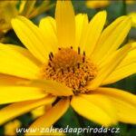 Janeba drsná – Heliopsis helianthoides