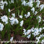 Puškinie s modrými květy