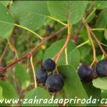Muchovník – indiánská borůvka