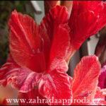 Gladioly neboli mečíky, druhy a pěstování