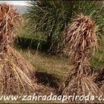 Jarní řez okrasných travin