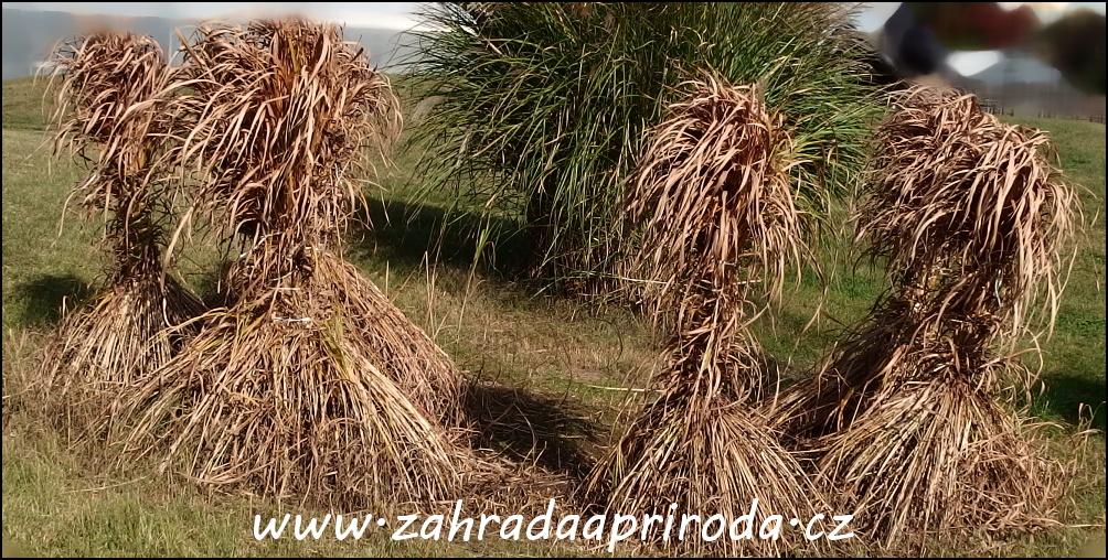na zimu svázané trsy travin