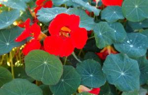 lichořeřišnice zářivě červená