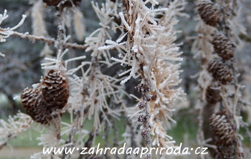 modřín v zimě