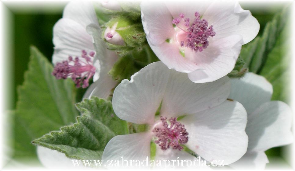 Proskurník lékařský - květ