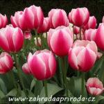 Tulipány zahradní a botanické