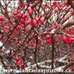 Dřišťál – pěstování a využití v kuchyni