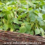 Jak pěstovat a vařit fazolky neboli fazolové lusky