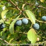 Trnka obecná – využití v léčbě, v kuchyni i na zahradě