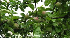 zmlazená jabloň