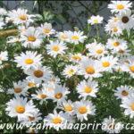 Jak pěstovat zahradní kopretiny