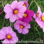 Krásenka zpeřená – pěstování
