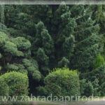 Dřeviny vhodné k ozdobnému tvarování
