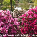 Rododendrony a azalky v zimě