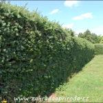Řez živých plotů z jehličnanů